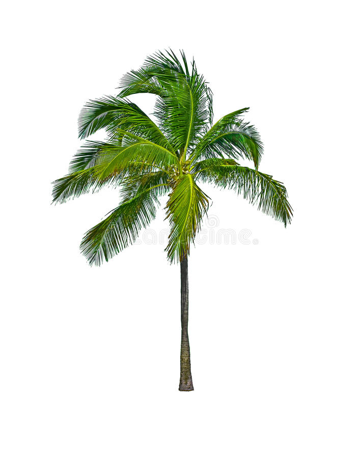 Free Palm Tree Isolated On White Stock Photography - 12714432