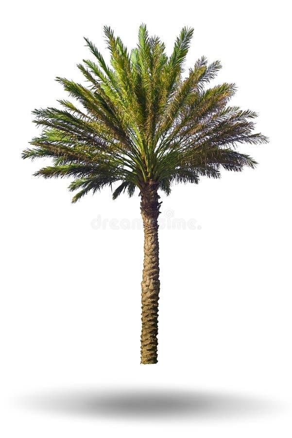 Free Palm Tree Isolated On White Background Royalty Free Stock Image - 22657216