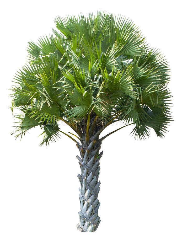 Free Palm Tree Isolated On White Background Royalty Free Stock Photography - 37794227