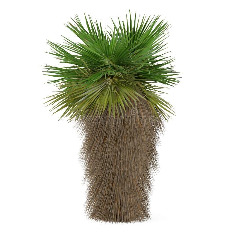 Palm tree isolated. Washingtonia filifera stock image