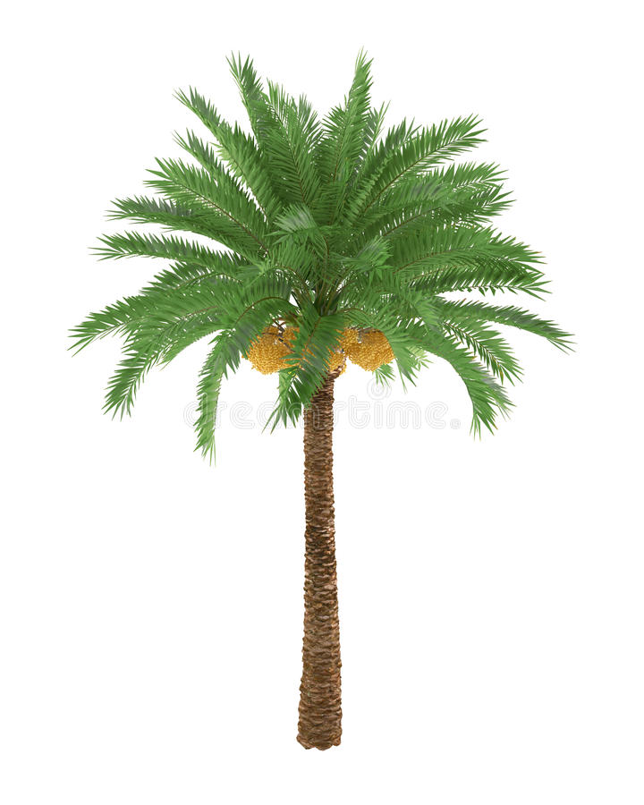 Palm tree isolated on white background vector illustration