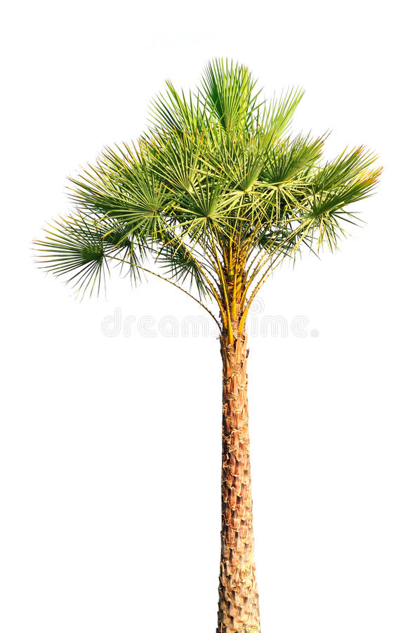 Palm tree isolated royalty free stock photos