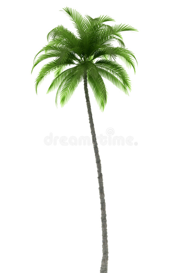 Palm tree isolated on white background royalty free stock images