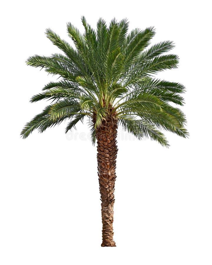 Palm Tree Island: Palm Tree Isolated On White Background Stock Photo
