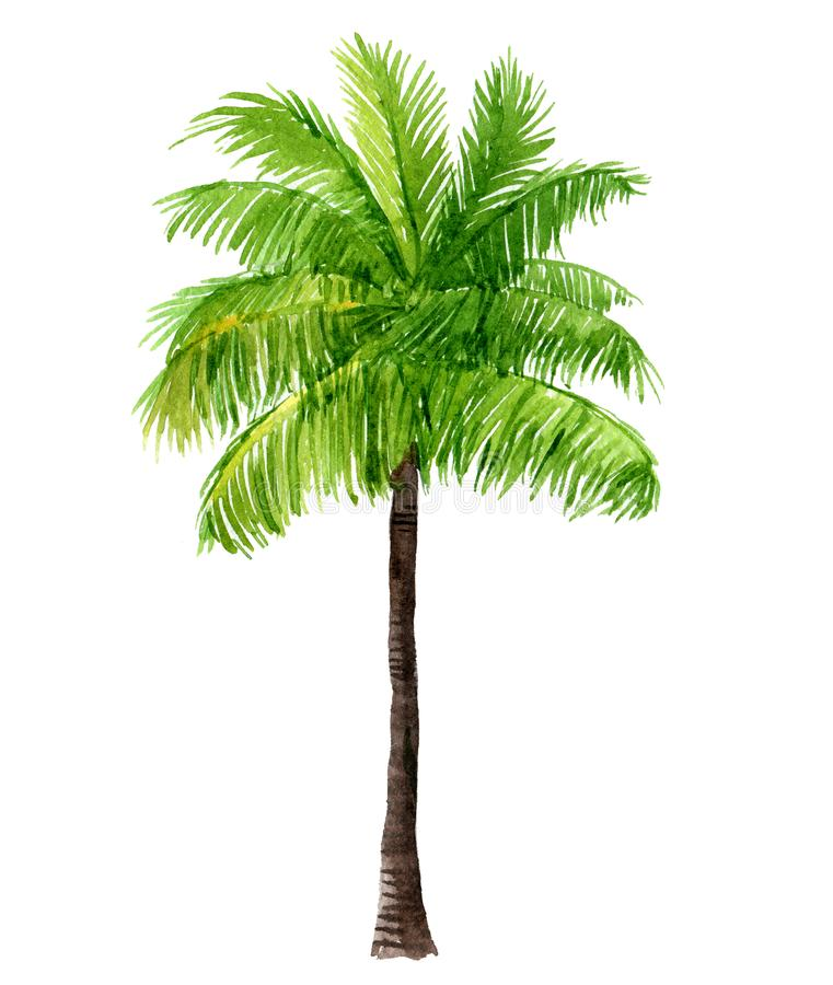 Palm tree, isolated on white, watercolor illustration stock illustration