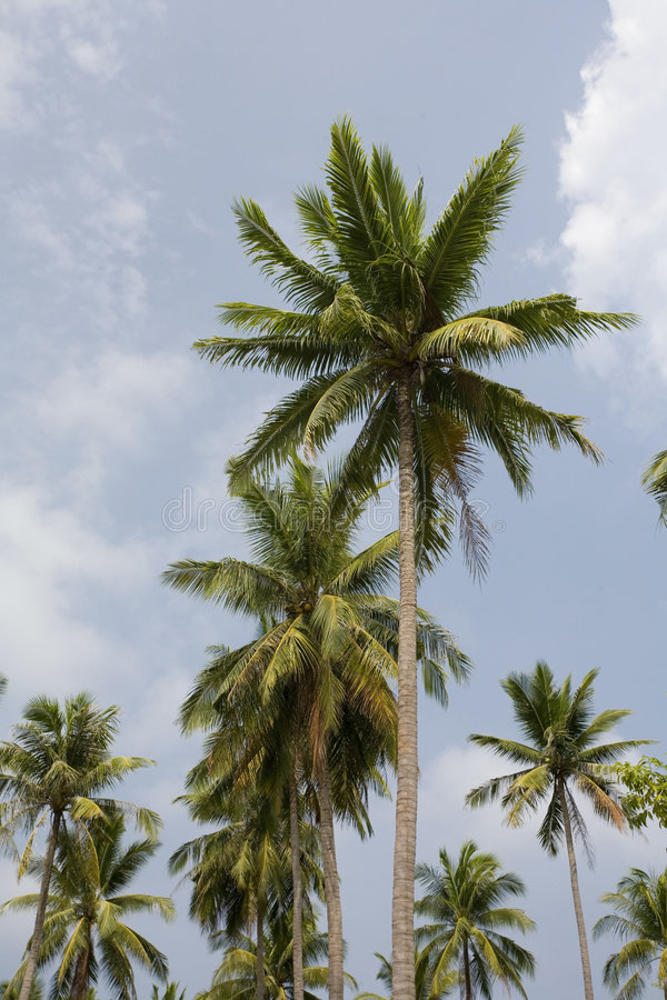 Free Palm Tree Kh Pha Nang Thailand. Stock Photography - 1581372