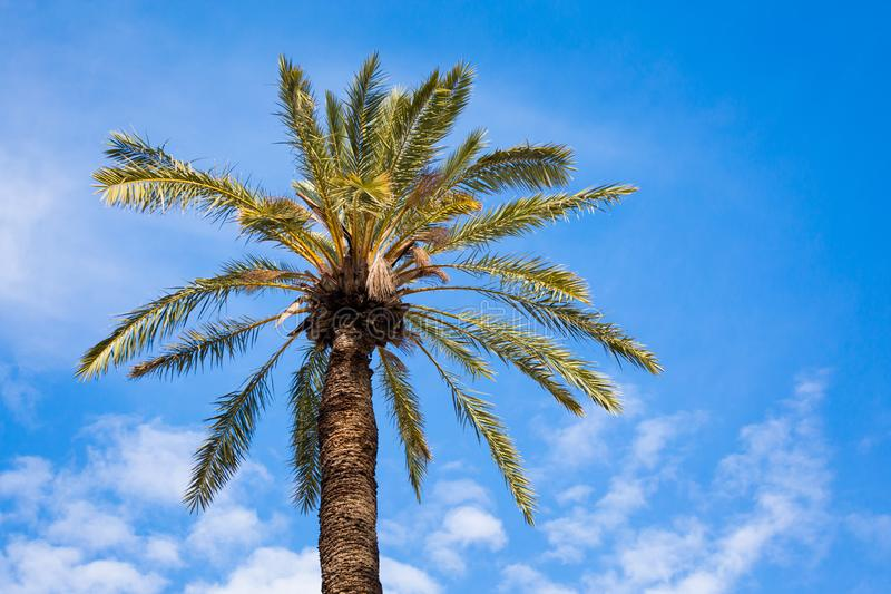 Palm tree in Larnaca royalty free stock photo