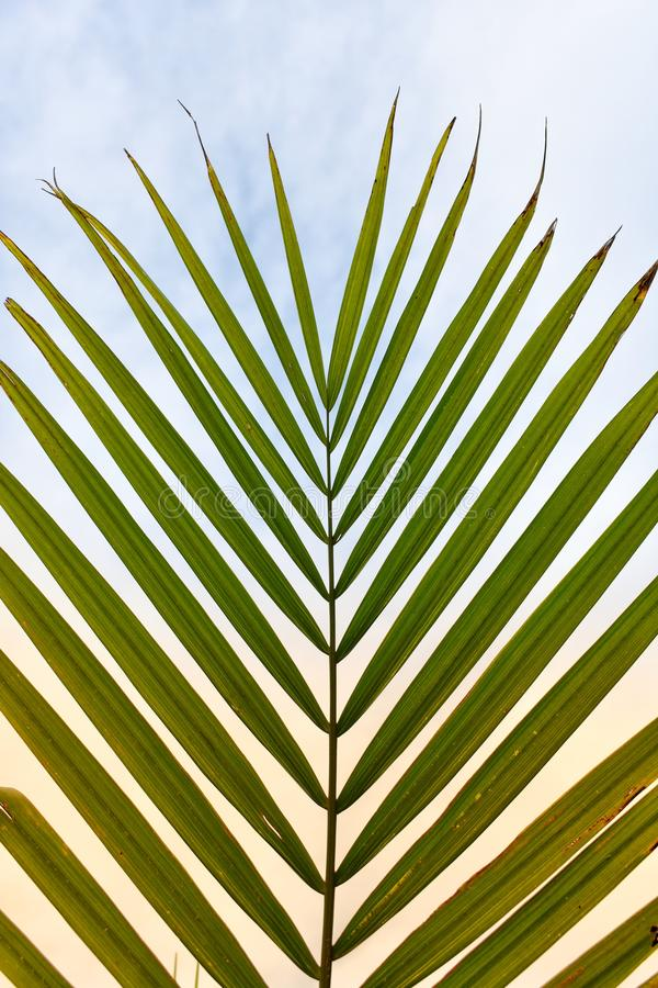 Palm Tree Leaf In The Sky. Palm tree spread out with sky in the background royalty free stock images
