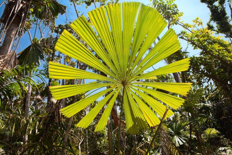 Palm tree leaf tropical rainforest Australia royalty free stock photo
