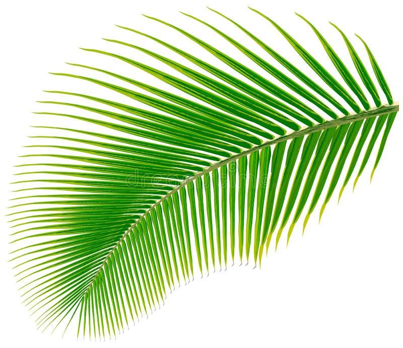 palm tree leaf vector illustration stock vector illustration of rh dreamstime com palm leaf vector background palm leaf vector file