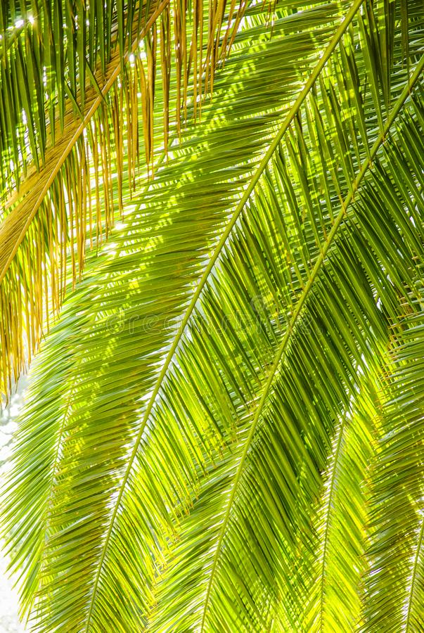 Palm Tree Leafs. Photo of several palm tree leafs over bright sunlight stock image