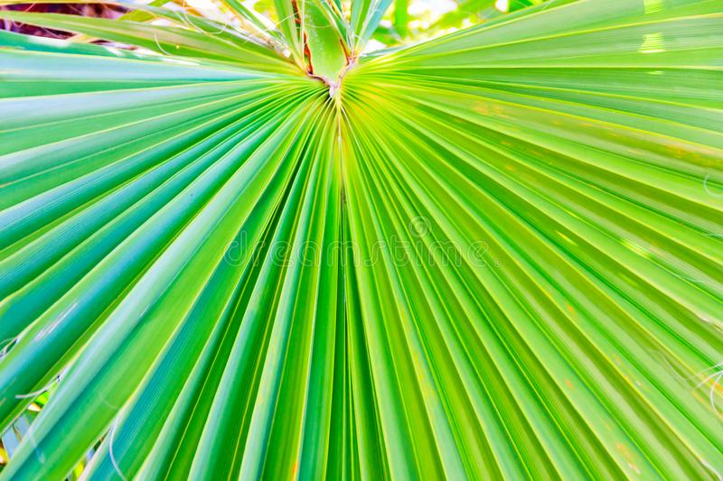 Palm tree leave radial nerves and lines. Leave of a palm tree. Vivid green color with radial nerves. lines and texture of a palm leaf, greed color close-up royalty free stock photography