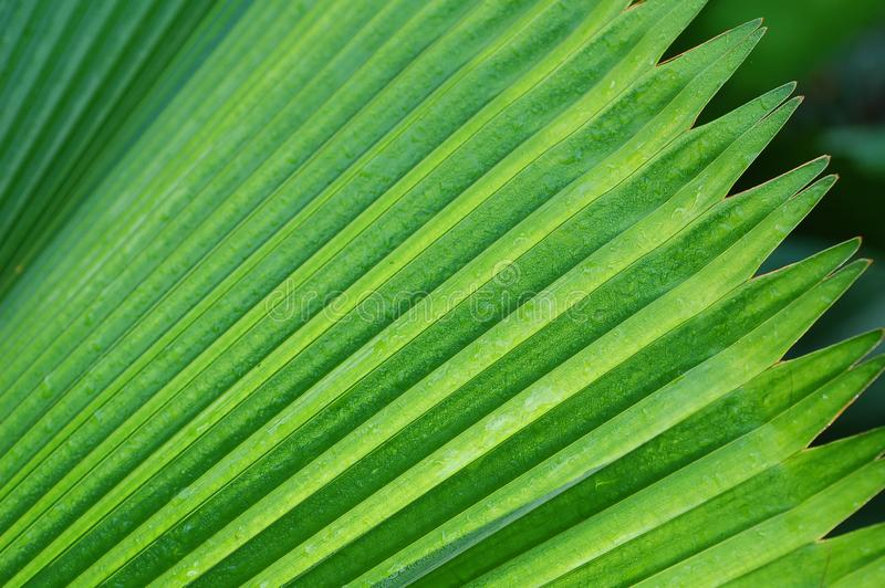 Palm Tree Leave3 royalty free stock photography