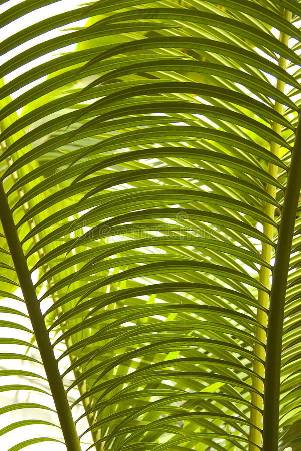 Download Palm tree leaves detail stock photo. Image of palm, botany - 20149810