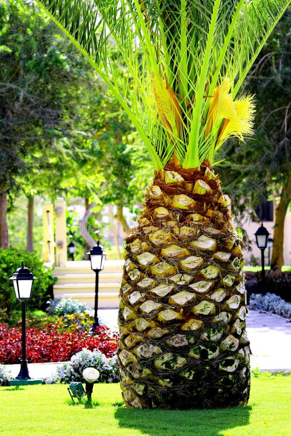 Palm Tree like big pineapple in tropical garden royalty free stock photo