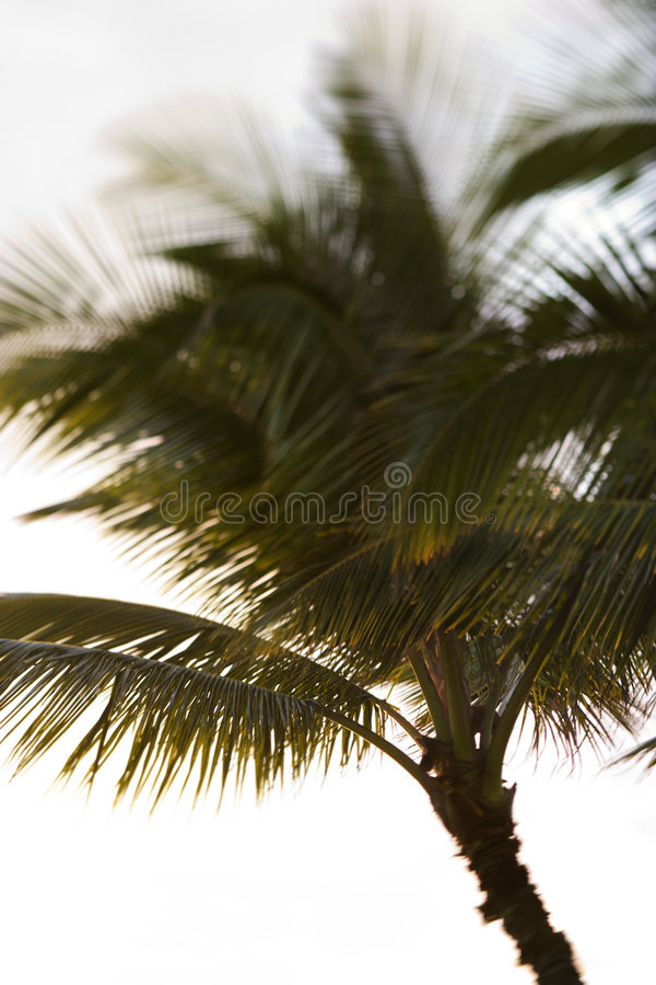 Download Palm tree in Maui, Hawaii. stock photo. Image of nobody - 2037938
