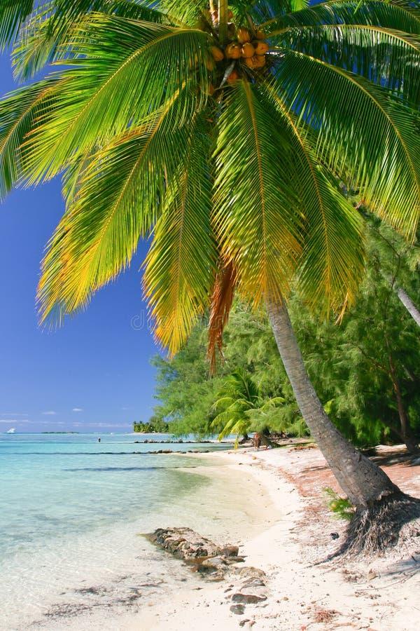 Download Palm tree, Moorea stock image. Image of snorkeling, lagoon - 23763201