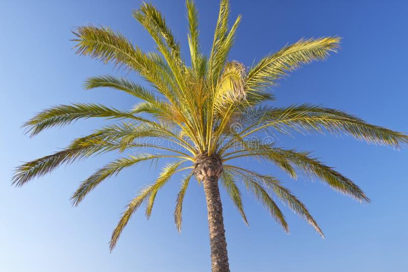 Download Palm Tree stock image. Image of majorca, paradise, blue - 32725203