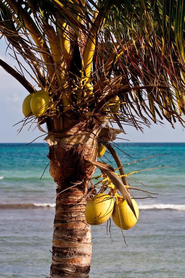 Download Palm Tree In Nice Light By Blue Sea Stock Photo - Image of travel, nature: 15826832