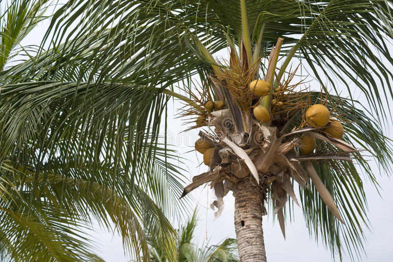 Palm tree nuts. Palm tree fragment with focus on yellow nuts stock photo