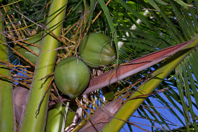 Palm Tree Nuts. A grouping of young coconuts in a palm tree with leaves and natural debris royalty free stock photos
