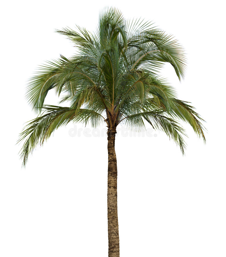 Free Palm Tree On White Background Royalty Free Stock Image - 31017296