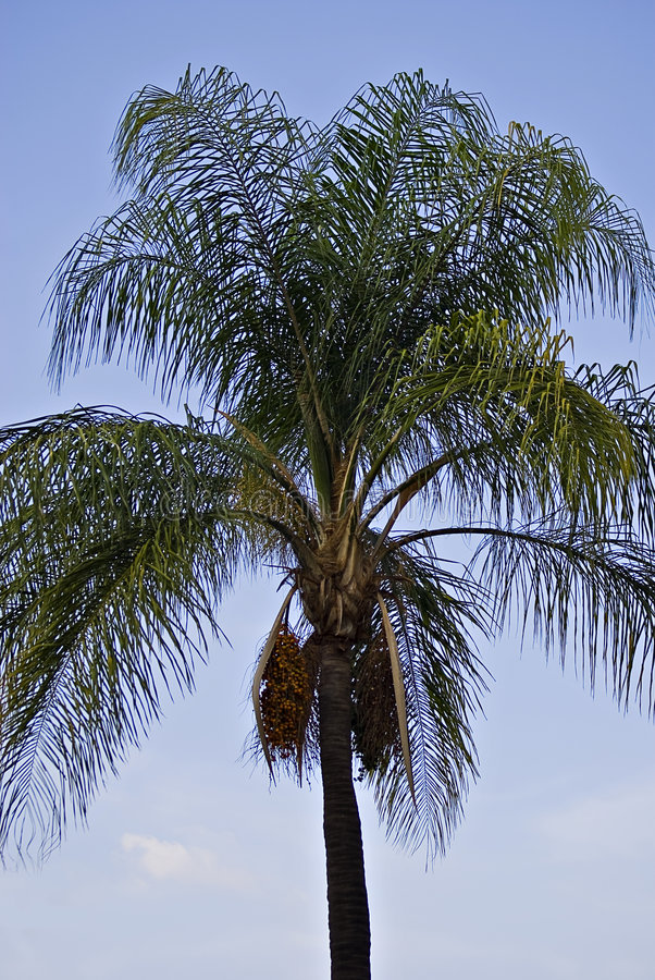 Download Palm Tree With Orange Fruit Stock Image - Image: 7630349