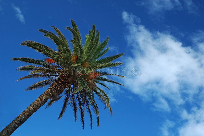 Download Palm Tree over Blue Sky stock photo. Image of branch, single - 643718
