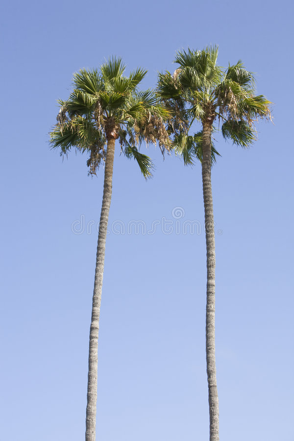 Palm Tree Pair