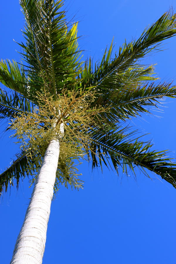 Free Palm Tree Perspective Royalty Free Stock Photography - 15013597