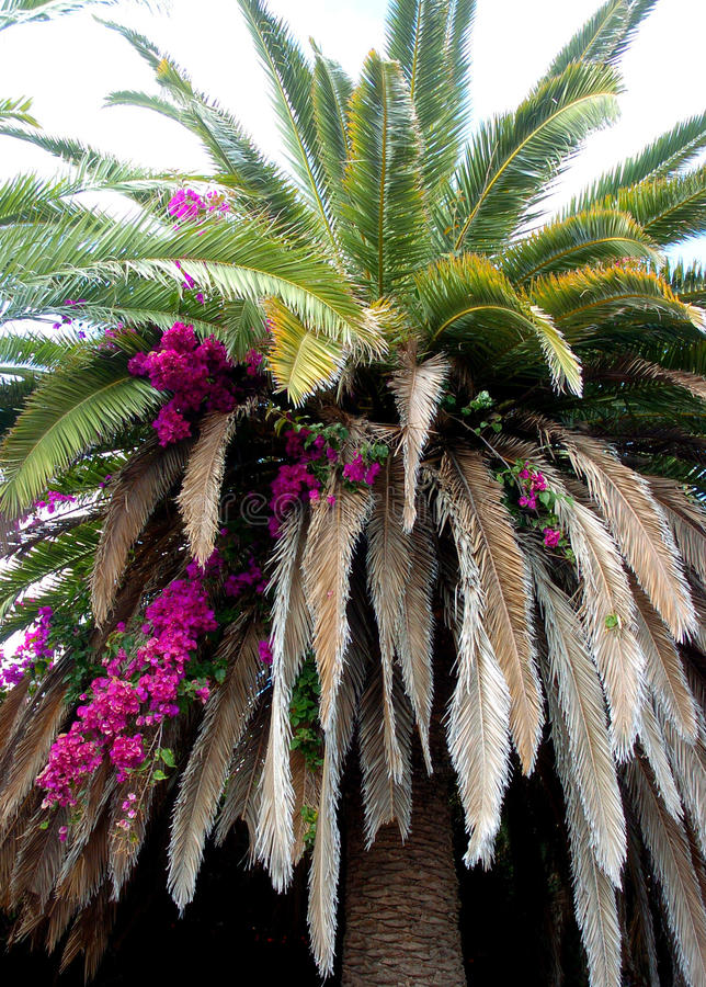 Palm tree with pink bougenvilles stock photo