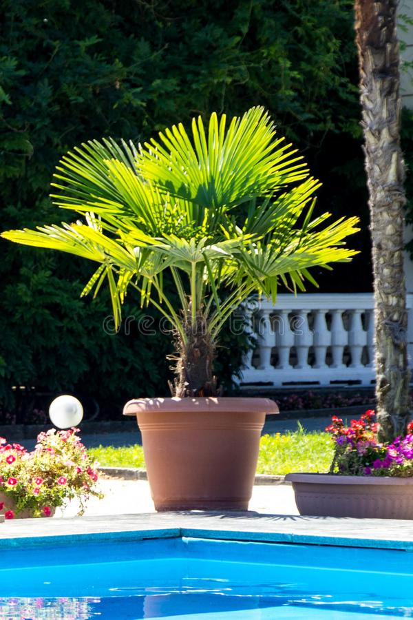 Palm tree by the pool in a pot royalty free stock photo