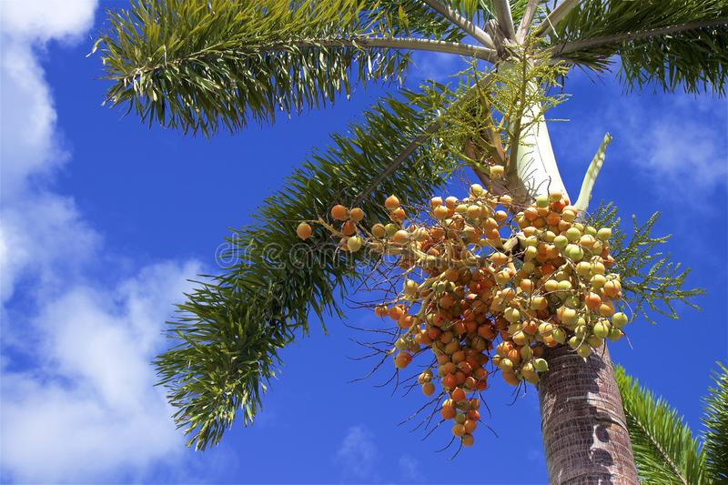 Palm tree with seeds. With blue sky on the background stock photos