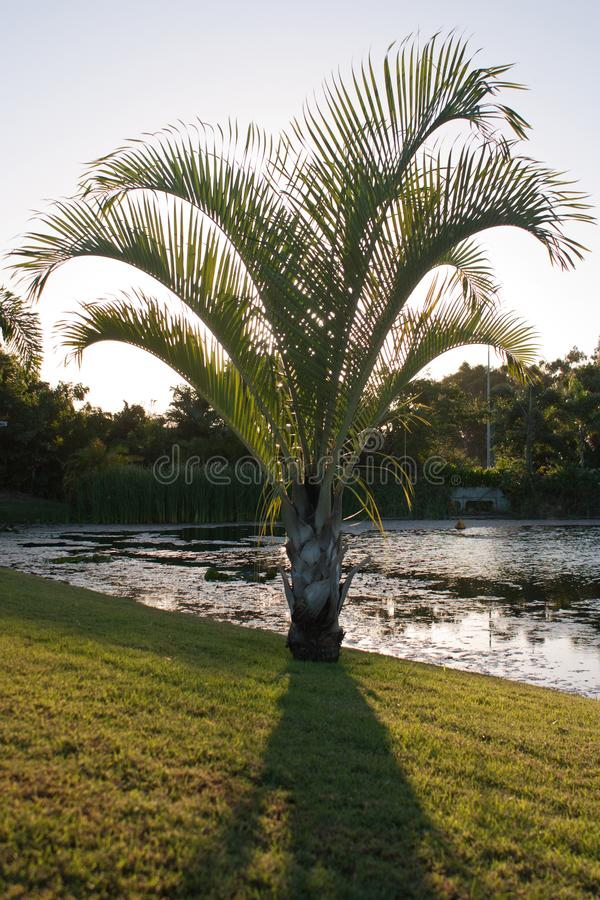 A palm tree on the shore of a pond in a park in Queensland, Australia stock images