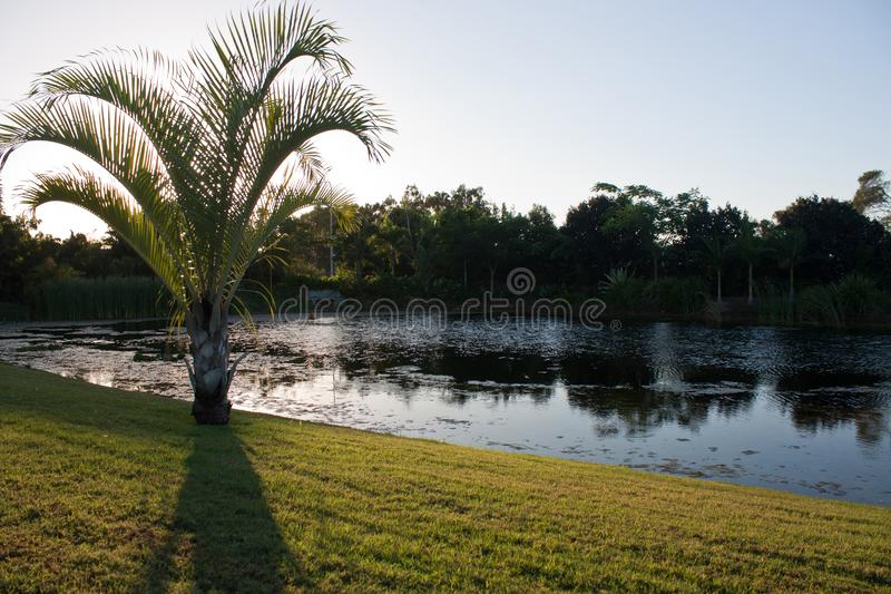 A palm tree on the shore of a pond reflecting trees in a park in Queensland, Australia stock images
