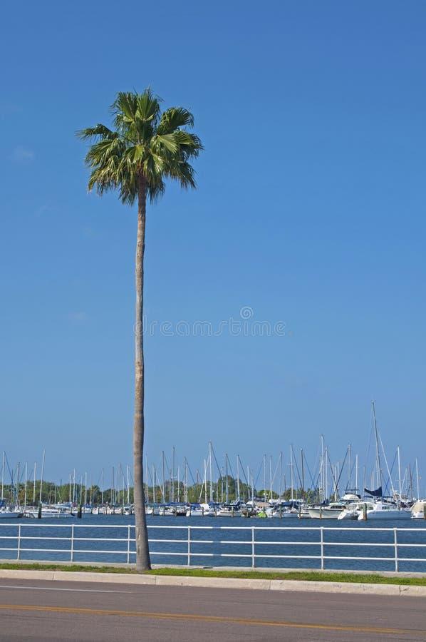 Palm tree on the sidewalk royalty free stock image