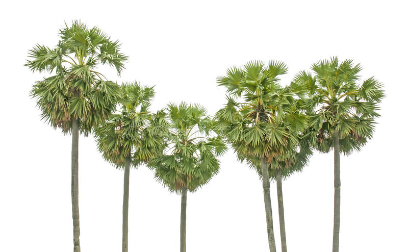 Download Palm tree stock image. Image of foliage, flora, growth - 34362425