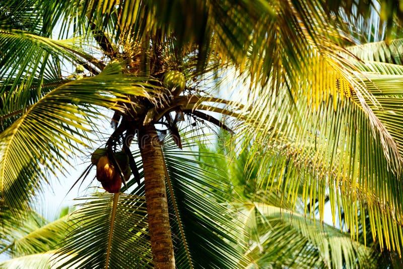 Palm tree with sun. Kerala India royalty free stock photos