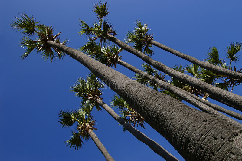 Download Palm tree of superiority stock photo. Image of blue, last - 1658594