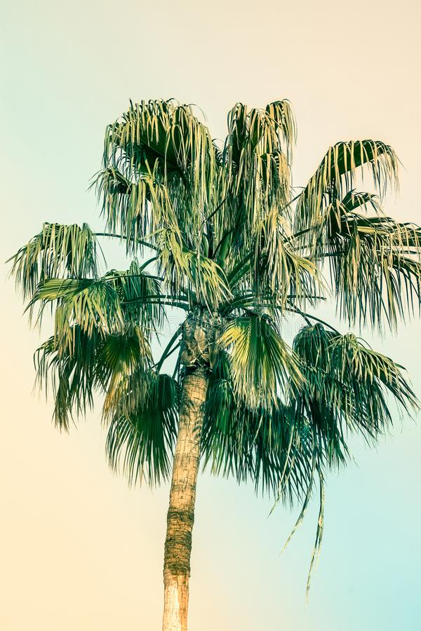 Palm Tree on Toned Pink and Turquoise Blue Duotone Sky Background. Trendy Pastel Colors. Surrealistic Vintage Style. Copy Space stock photos