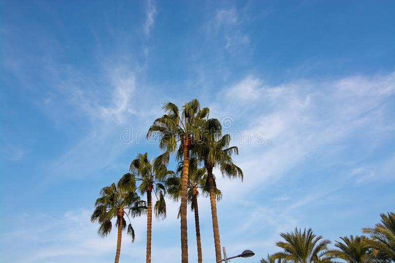 Palm tree top against blue skies. In Mallorca, Spain stock image
