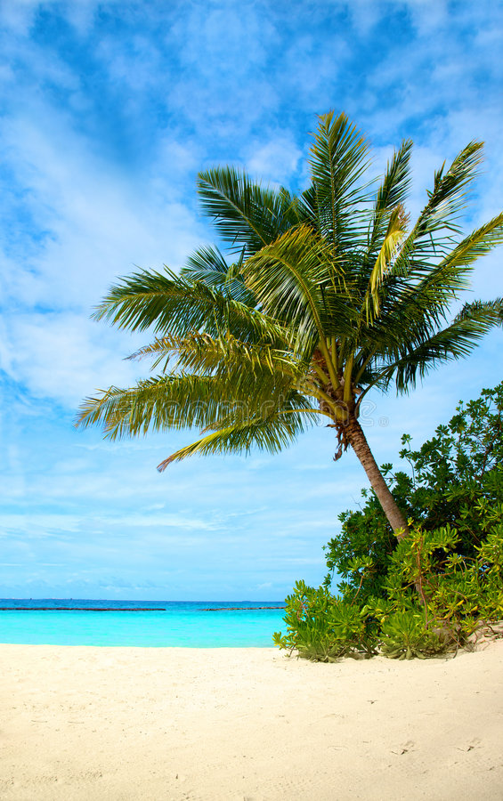 Download Palm Tree In A Tropical Beach Stock Photo - Image: 5459268