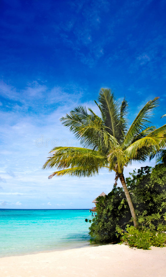 Download Palm Tree In A Tropical Beach Stock Photo - Image: 5521528