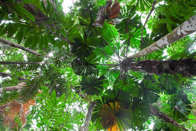 Download Palm Tree Tropical Rain Forest Canopy Australia Stock Photo - Image of beauty foliage & Palm Tree Tropical Rain Forest Canopy Australia Stock Photo ...