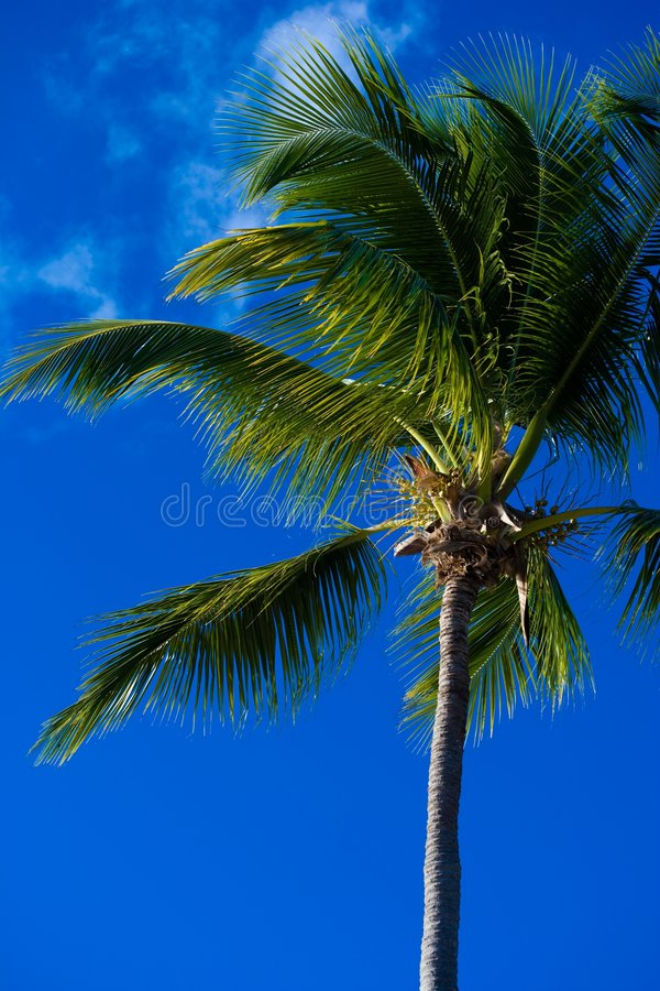 Download Palm tree in the tropics stock image. Image of caribbean - 4752019