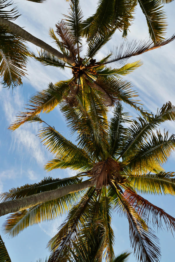 Download Hawaii stock photo. Image of cards, palm, stem, coconuts - 30856528