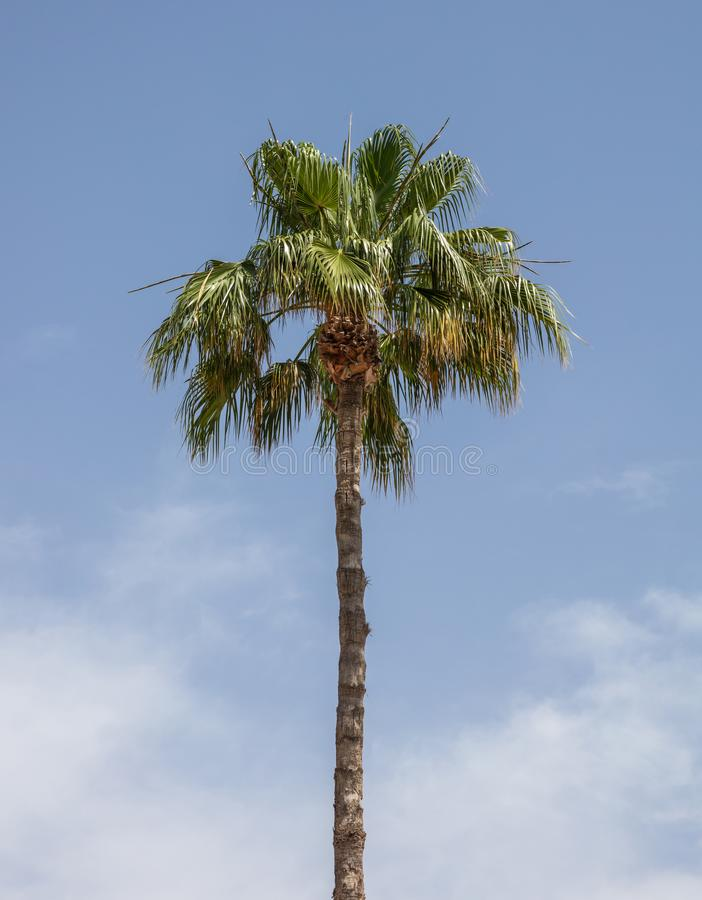 Palm tree under Cyprus blue sky with few clouds. stock images