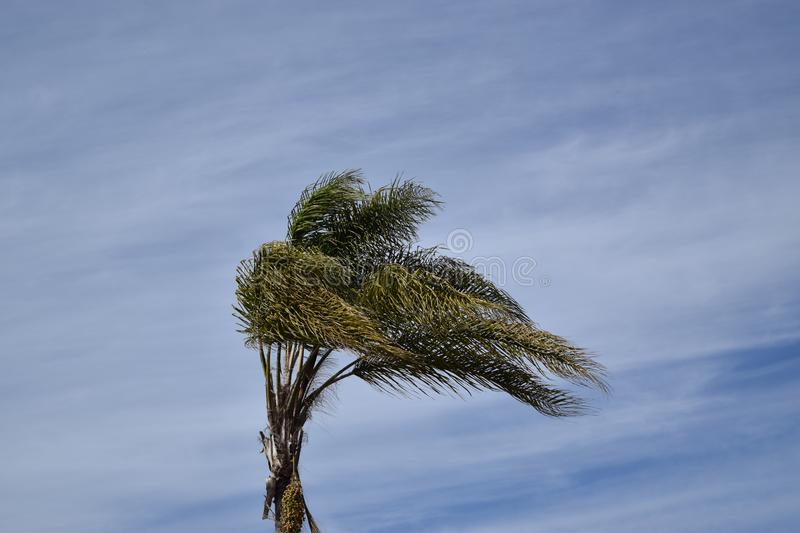Palm tree waving in the wind against a blue sky. A palm tree blows in the wind, set against a blue sky backdrop on a typical sunny California day royalty free stock images