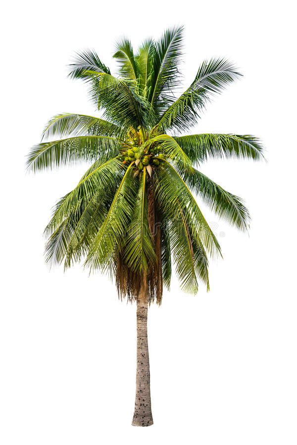 Palm tree in white isolated background. With rich detail stock photography