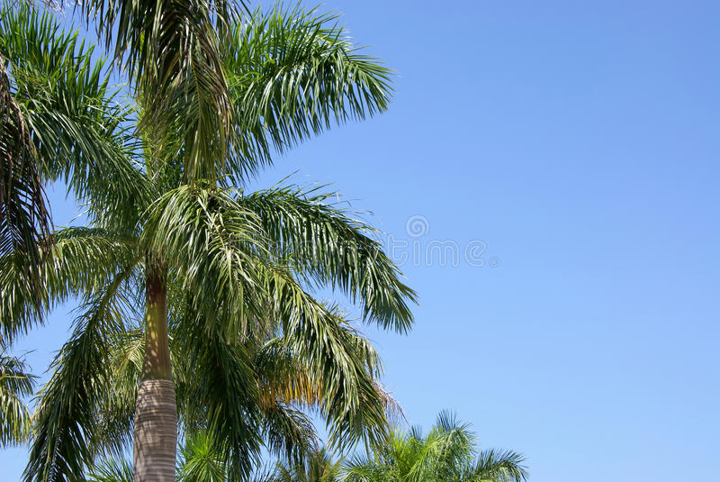 Download Palm trees stock image. Image of florida, palm, copy - 10527143
